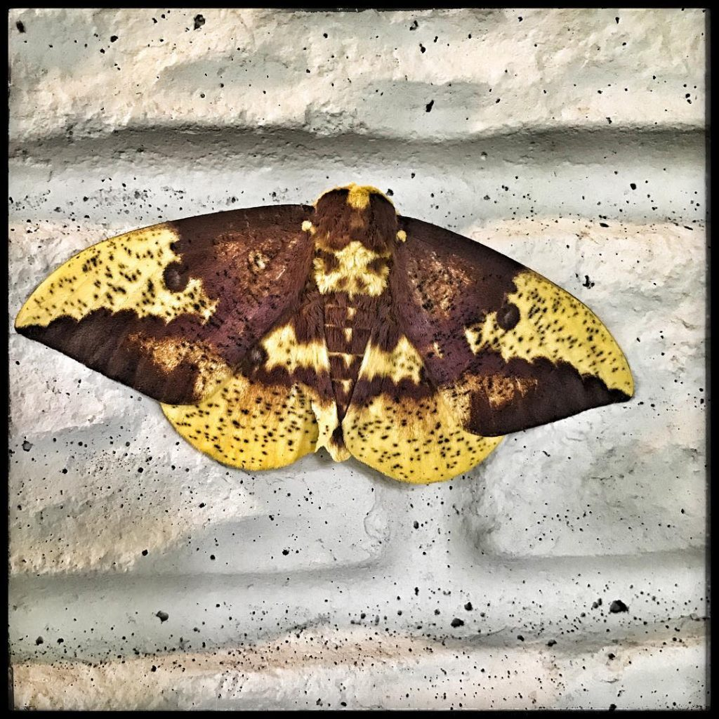 Moth from my lunchtime run